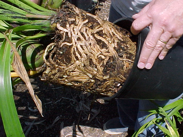 Basic Cymbidium Repotting